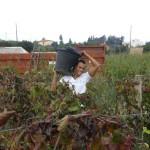 Vendemmia raccolta dell'uva Balestrate Sicilia