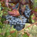 Vendemmia raccolta dell'uva settembre