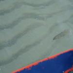 Tipica pesca di seppie con seppia femmina trainata dalla barca, Balestrate, pesca artigianale