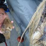 Seppie catturata con reti, pesca artigianale, Balestratee