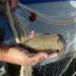 Seppie di Sicciara, Balestrate, pesca artigianale
